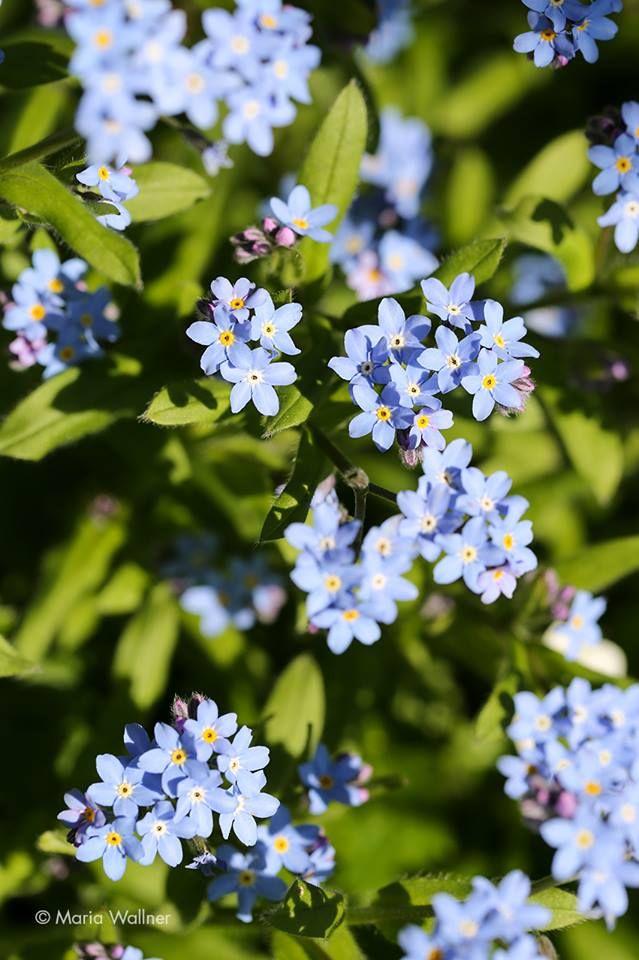 Vergissmeinnicht Blue Scorpion Grass / Myosotis