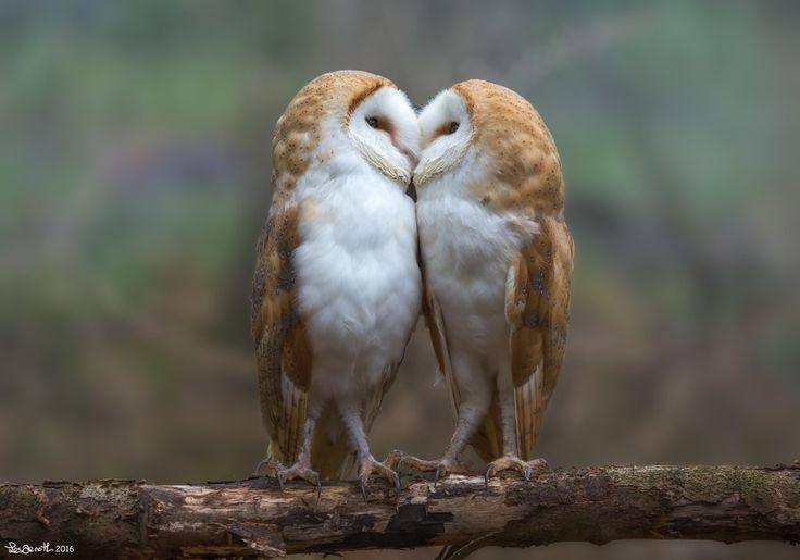 Lechuzas besándose