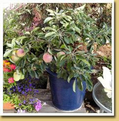 Ultra Dwarf Plum Patio Tree. Patio Fruit TreesPotted ...