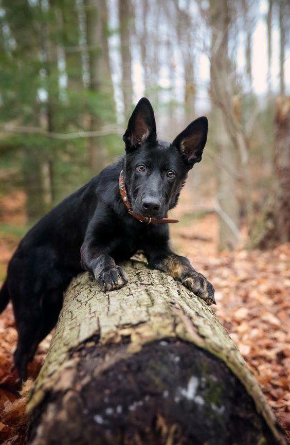 German Shepherd                                                       …