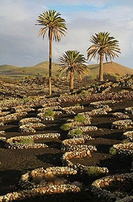 Spain. Canary islands. Lanzarote. vineyard agriculture