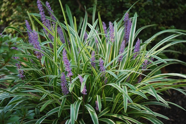 Liriope muscari 39 variegata 39 favorite plants pinterest for Variegated grass with purple flower