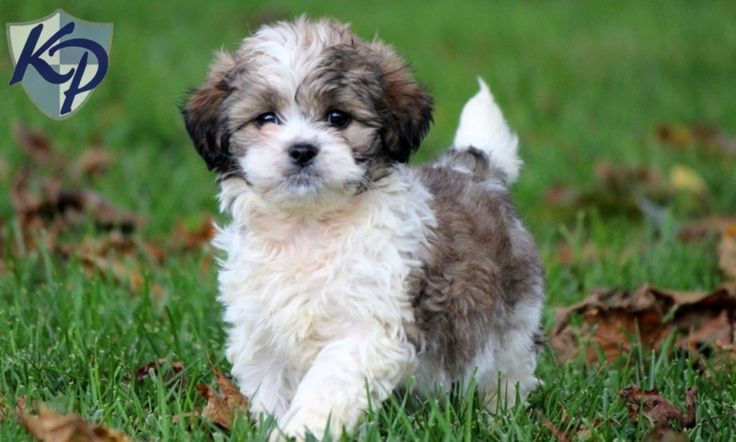 Dusty – Shihpoo Puppy www.keystonepuppies.com  #keystonepuppies  #shihpoo
