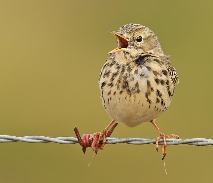 Meadow pipit  by Roger Hatcliffe