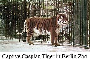 Caspian_tiger (Captive Caspian tiger at Berlin Zoo, circa 1899 (color enhanced) - 1