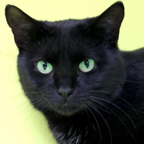 Hi, I'm Haylee! I'm an adult spayed female black Domestic Short Hair.