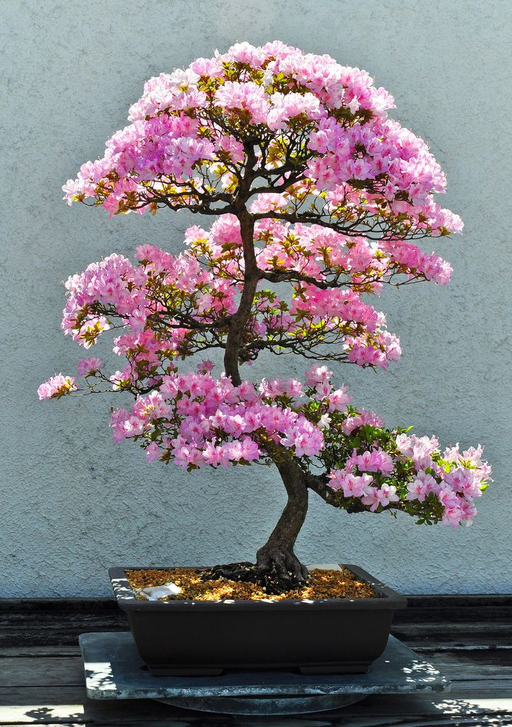 ~~Pink!   Azalea Bonsai in full bloom, National Arboretum, Washington, DC by school40~~