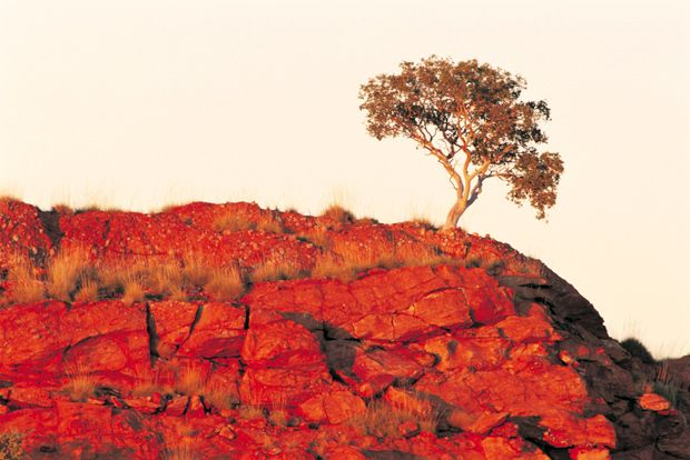 A gum tree grows from a rocky outcrop in Rudall River National Park, WA