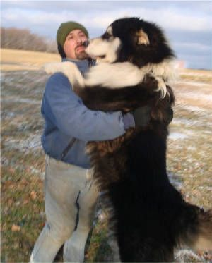 HUGE Alaskan Malamute!  I was raised with one of these. would love to have another one day
