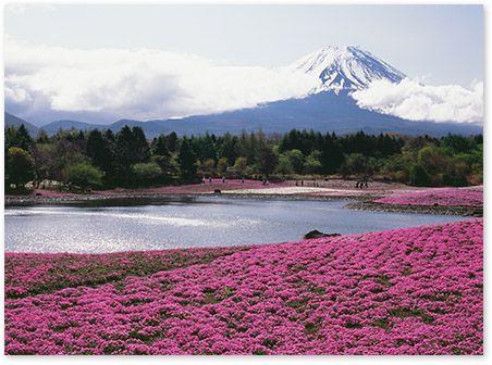 【特集】さくら咲く~富士山の春~ | 富士山エリアの総合ガイド - フジヤマNAVI