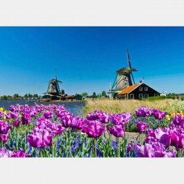 grote ansichtkaart - de Zaanse schans - tulpen en molens   de kaartenmakers https://www.mullerwenskaarten.nl/index.php/thema/nederland.html