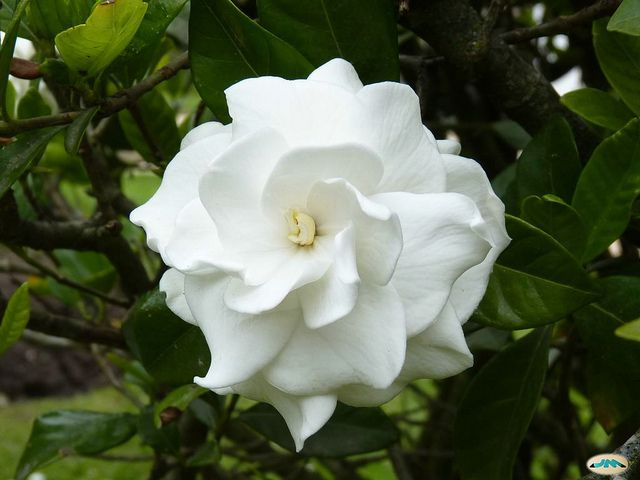 Gardenias - In a recent study, however, the smell from the flowers of this delicate gardenias got very high marks in improving the quality of sleep.
