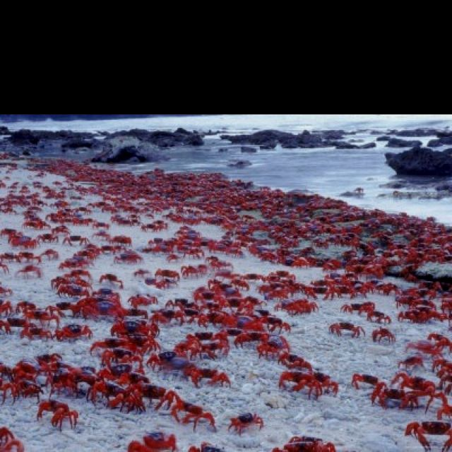 See the crabs on #Christmas #Island