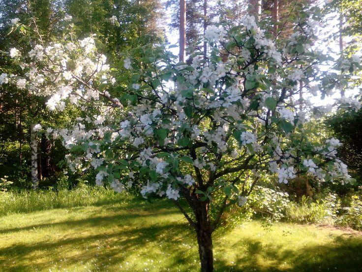 Loman loppu toukokuussa ja omenapuut ovat täydessä kukassa! Pörriäiset pörisee kovasti kukissa!