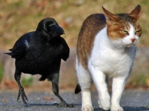 Crows like to annoy other animals by pulling their tails. Judging ...