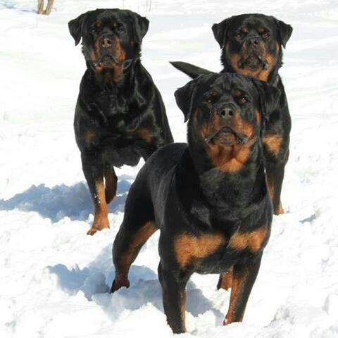 #Awesome #Rottweilers