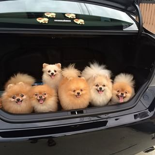 Take a deep breath. | Community Post: 23 Pomeranians Who Want To Cheer You Up