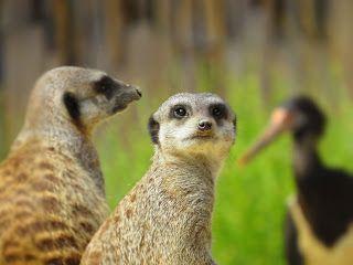 Rincón para padres: Visitando el zoológico  Has visitado el zoológico últimamente? Vacaciones escolares pueden ser mucho más que sólo ver televlsion en casa. Una visita al zoológico es una gran oportunidad para practicar actividades de lenguaje y del habla. Aquí hay algunas cosas que se pueden practicar en el zoológico!NOMBRAR: Vamos a nombrar todos los animales que vemos! Esto es una gran oportunidad para ampliar el vocabulario de su hijo.Vamos a ver las suricatas y los orangutanes? Qué tal…