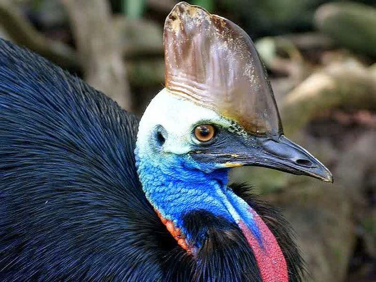 Burung Kasuari ,Burung Paling Berbahaya Di Dunia | Burung Nusantara