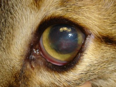 Cat Eye Syndrome Symptoms | Feline Herpes Viral Disease | Common Eye Diseases