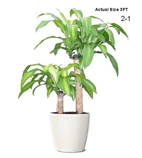 Massangeana Cane Ornamental Plant: Small Dracaena Fragans (Web) Buy Indoor  Plants   Fruit