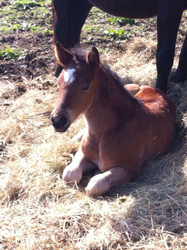 How adorable is our sweet Novelle van Haflonië  #horse #foal #