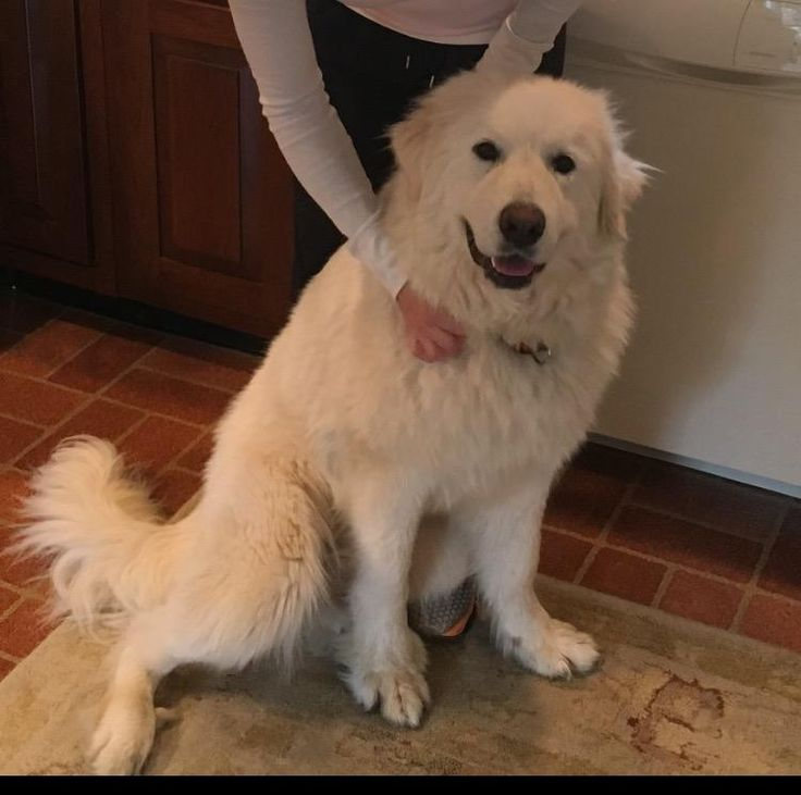 3/26/17 MY NAME IS SUGAR AND I'M SWEET! I WOULD LOVE TO BE YOUR BEST FRIEND. I'M HERE WAITING TO MEET YOU. PLEASE COME BY SOON.Sugar is an adoptable Great Pyrenees searching for a forever family near Enfield, CT. Use Petfinder to find adoptable pets in your area.