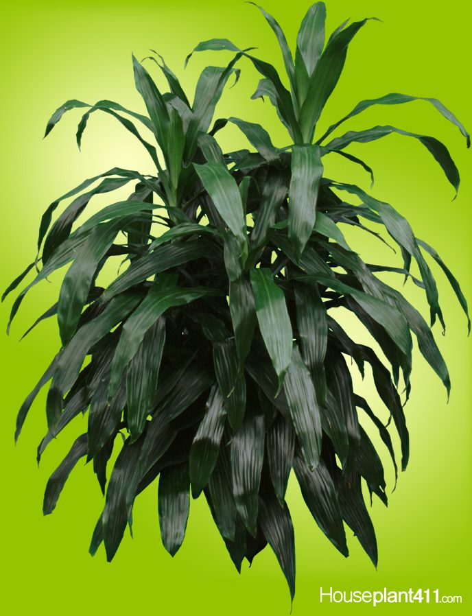 Dracaena janet craig houseplants are the best plants for Plants that need little maintenance