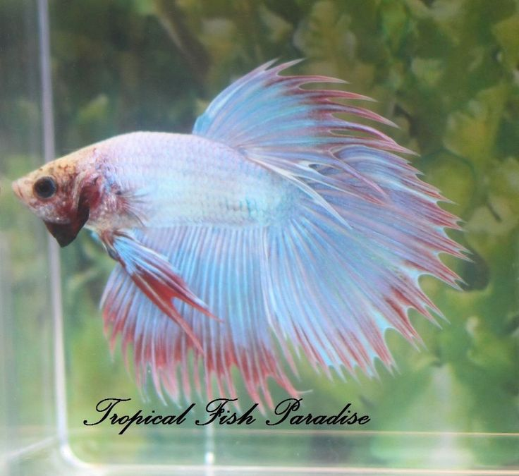 70 best betta fish images on pinterest for Best food for betta fish