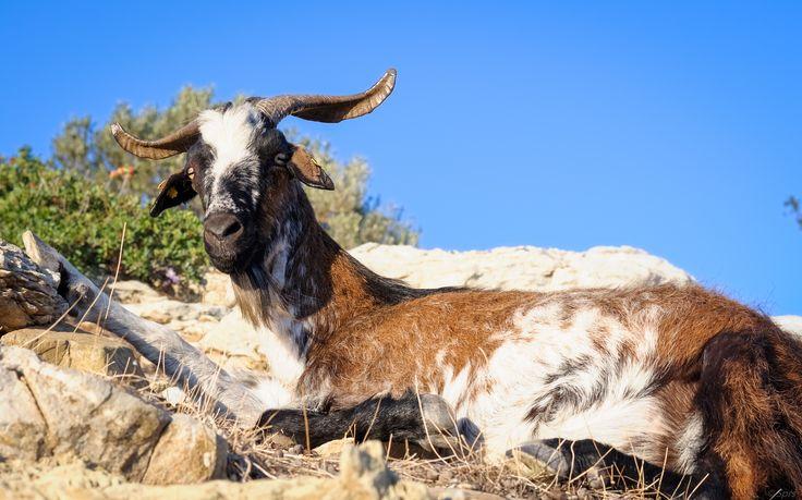 Relaxing goat in Poros