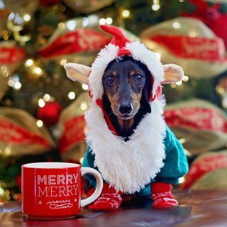 This little one who is waiting for Santa. | Community Post: 20 Adorable Dachshunds Who Are Totally Ready For Christmas