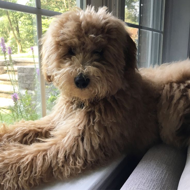 Haircuts For Goldendoodles Pictures: Best 25+ Goldendoodle Haircuts Ideas Only On Pinterest
