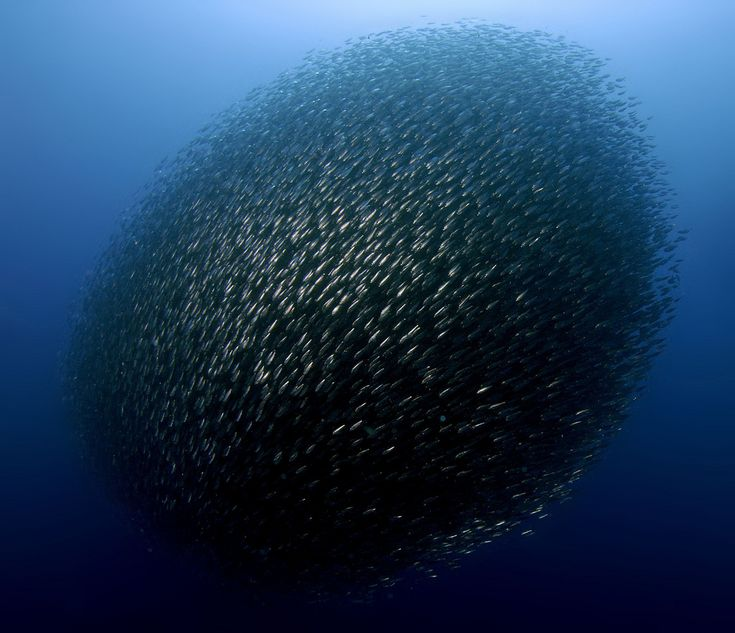 Bait ball of Sardines.