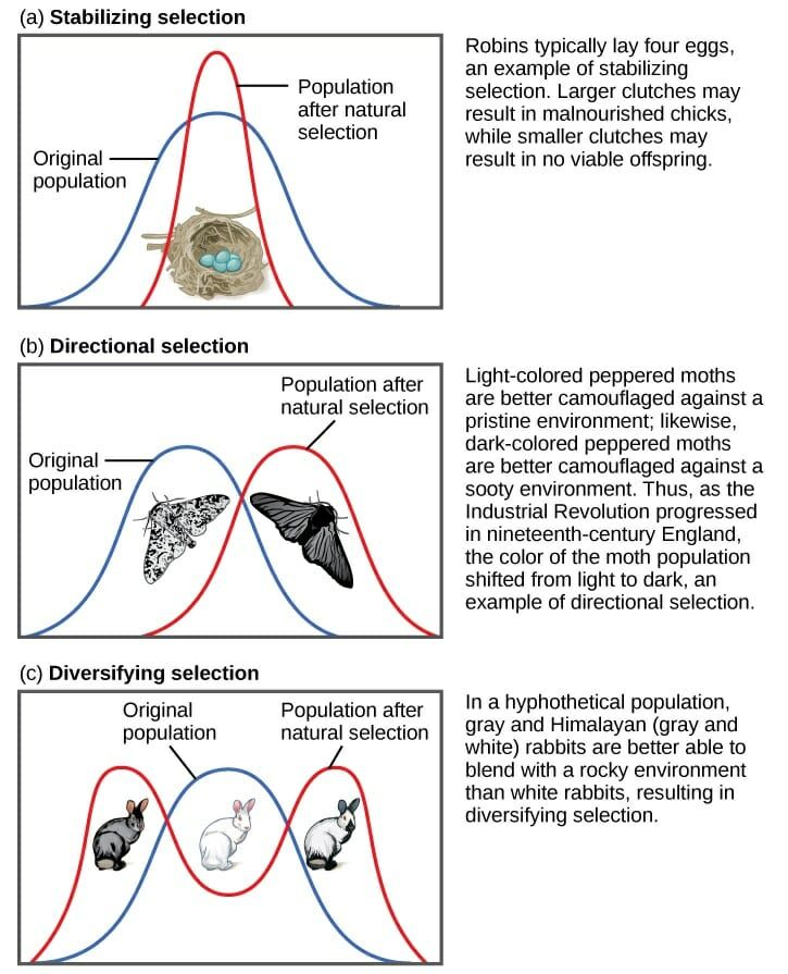 Stabilizing Selection Biology Classroom Biology Teacher Biology Lessons