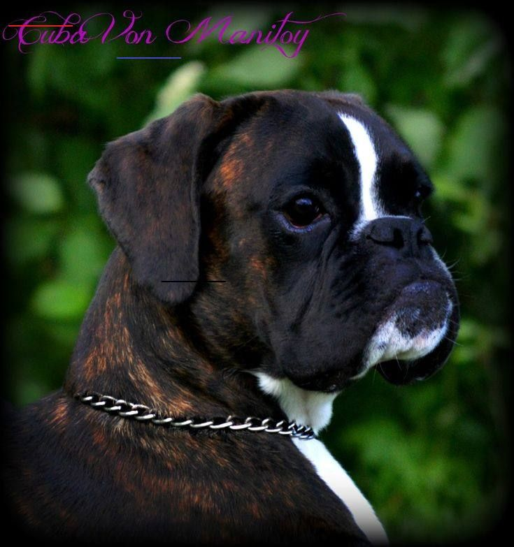 Havenwoods Boxers Top Quality Akc German And American Boxers Based In Central Ohio Show Quality W In 2020 Boxer Puppies Brindle Boxer Puppies Boxer Puppies For Sale