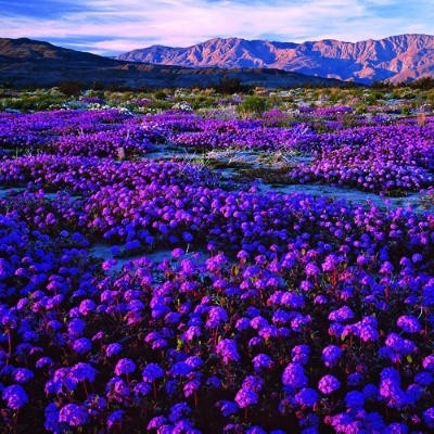 Purple Wildflowers, Anza-Borrego, California... SO PRETTYY!!! oh my gosh... I want to go here... now!