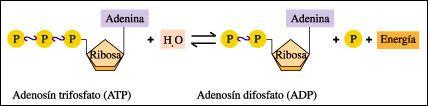 HIDRÓLISIS DE ATP: El trifosfato de adenosina (adenosín trifosfato, del inglés adenosine triphosphate o ATP) es un nucleótido fundamental en la obtención de energía celular. Está formado por una base nitrogenada (adenina) unida al carbono 1 de un azúcar de tipo pentosa, la ribosa, que en su carbono 5 tiene enlazados tres grupos fosfato. Es la principal fuente de energía para la mayoría de las funciones celulares.
