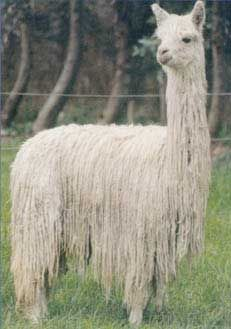 good example of a Suri. (Alpaca)