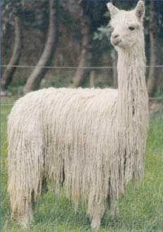 good example of a Suri. (Alpaca)