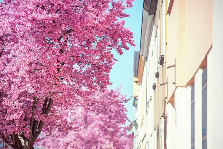 Pink Spring Bloom On Street by Jenny Rainbow