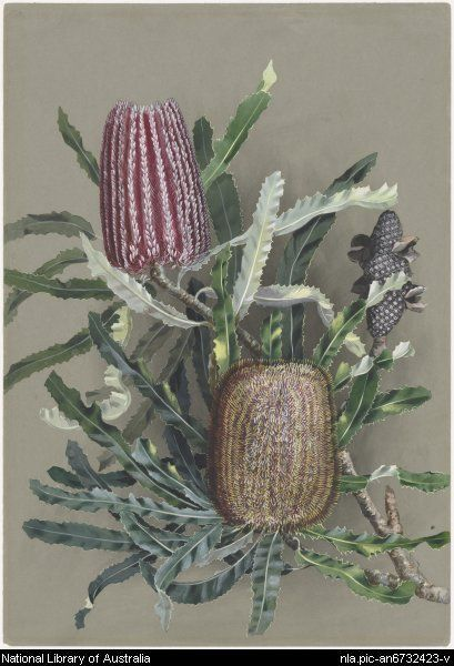 Rowan, Ellis, 1848-1922. Banksia menziesii R. Br., family Proteaceae, Firewood Banksia or Menzies Banksia, Western Australia, ca. 1885 [picture] [188-?] 1 painting : watercolour ; 54.5 x 38 cm. Part of Flower and bird paintings [picture] [ca. 1870-ca. 1921] From National Library of Australia collection http://nla.gov.au/nla.pic-an6732423 nla.pic-an6732423