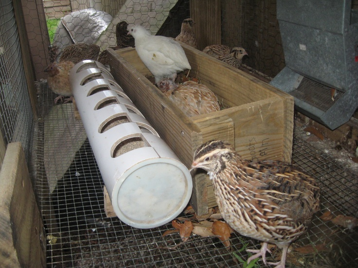 Raising Quail This Feeder Is Great At Preventing Waste