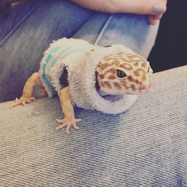 Leopard gecko in a sweater