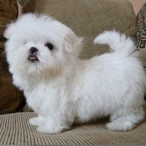Best Teacup Dogs | Cute Teacup Maltese Puppies For R-Homing - Dubai City - PT119827