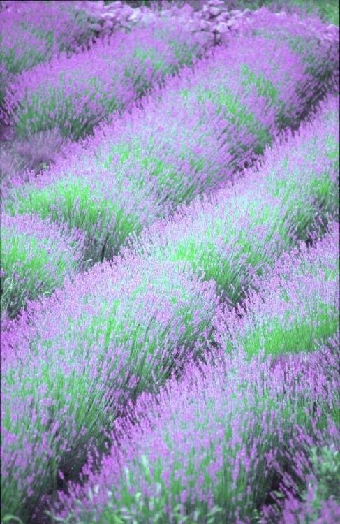 Lavender.........yep I am convinced.......planting lavender this summer!
