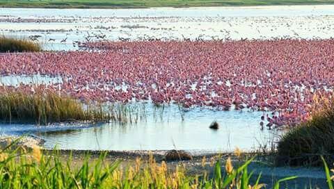 Kamfer's Dam Flamingo breeding site outside Kimberley, Northern Cape