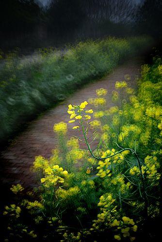 Rapeseed flowers 油菜花