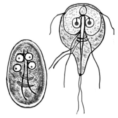 Giardia lamblia - Parasitism - Wikipedia