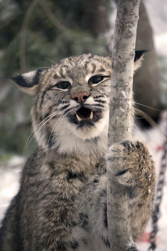 wild-diary:  Bobcat |Seth Carlson