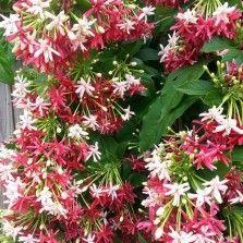 Tanaman Melati Belanda 'Thai Double Flower'